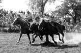 Cleo Schultz, Volland, Kansas, is seen in this 1960s view, competing in the bulldogging event at the rodeo grounds at Mayetta, Kansas. Photo courtesy Cleo Schultz.