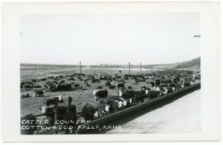 This undated real photo postcard shows a cattle feed lot located at Cottonwood Falls, Kansas.