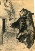 Carl Hoots took this photo for a special story for the West Plains Daily Quill in 1973, describing the bear's ability to predict the weather evidenced by his eating, drinking, and bedding habits in the fall.