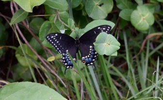 This Eastern Black Swallowtail stops on a honeysuckle vine while visiting the butterfly garden.