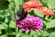 This Eastern Black Swallowtail was the first swallowtail to visit the nectar garden in 2019, arriving on July 9th.