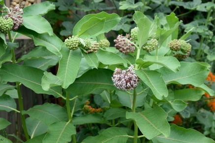 "Common milkweed, seen here, is the host for Monarch butterflies which lay their eggs exclusively on the native ""weed""."