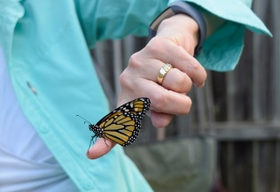 The newly-hatched Monarch butterfly is virtually fearless as it emerges from the chrysalis stage as Cheryl prepares to release the butterfly into the nectar garden.