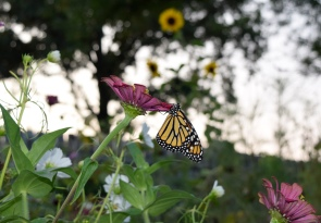 Upon emerging from the chrysalis stage, this Monarch butterfly hangs in the sun to dry its wings before beginning its first flight.