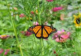 This Monarch pauses on a Cosmos plant to warm itself in the morning sun.