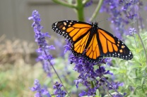 "A Monarch butterfly feeds on the flower of a ""butterfly plant"" in the garden."