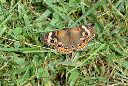This common buckeye butterfly was one of many varieties which visit the nectar garden.