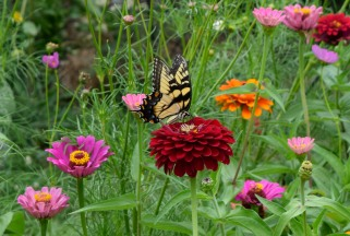 An Eastern Tiger Swallowtail feeds on a Zinnia on the hillside.