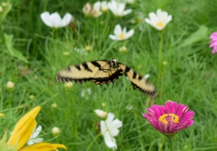 This Eastern Tiger Swallowtail was captured by the camera in flight in the nectar garden.