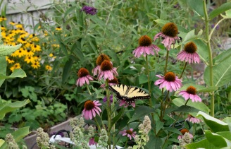 An Eastern Tiger Swallowtail pauses to feed on a purple cone flower in the garden.