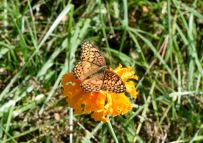 A Great Spangled Fritillary butterfly pauses on a Marigold in the butterfly garden.