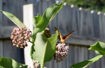 A Great Spangled Fritillary butterfly feeds on the nectar of the flower of the common milkweed.