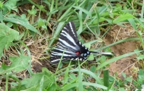 This Zebra Swallowtail, a butterfly whose caterpillar hosts on the leaves of the Paw Paw tree, was a late June visitor to the nectar garden.
