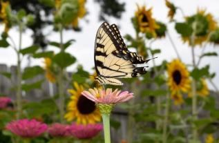 An Eastern Tiger Swallowtail perches atop a Zinnia flower, feeding in the summer sun.