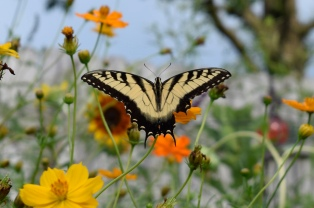 """This Eastern Tiger Swallowtail pauses to feed on Cosmos, """"Bright Lights""""."""