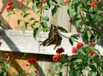 The Giant Swallowtail, the largest of the swallowtails, feeds on a Lantana flower in the nectar garden.