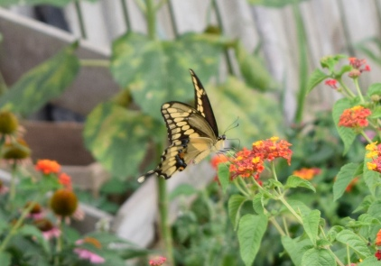 The Lantana flower blooms until the first frost, providing nectar for the late season butterflies, like this Giant Swallowtail.