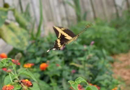 A Giant Swallowtail is captured by the camera in flight in the nectar garden.