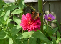 Zinnias are a favorite of the many Painted Lady butterflies that visit the garden in the summer months.