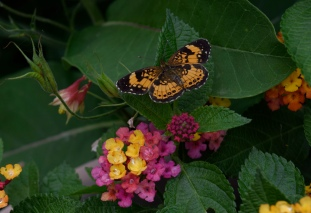 A Pearl Crescent visits a Lantana flower in the nectar garden.