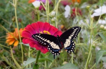 Tiger Swallowtails abound in the nectar garden in July and August. Swallowtails do not migrate, but overwinter in Kansas.