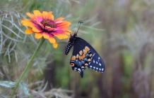 An late-season Eastern Black Swallowtail hangs on a Zowie Zinnia as it warms itself in the morning sun.