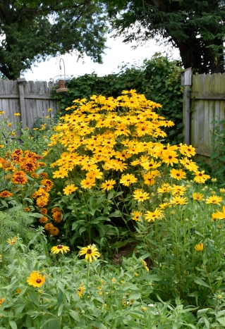 Black-Eyed Susans thrive in the perennial section of the nectar garden.
