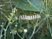 Dill is a favorite host plant for the Eastern Black Swallowtail.