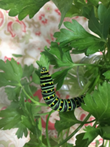 Adding Parsley to a butterfly garden will provide a host for Swallowtails on which to lay their eggs, and food for the caterpillars that follow.
