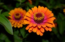 The showy Zowie Zinnias are a favorite of butterflies.