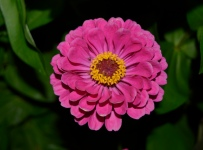 Zinnias have a short growing cycle, making them ideal for most growing zones.