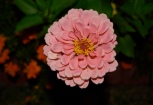 Zinnias are easy to grow and are a favorite of butterflies, bees and hummingbirds.