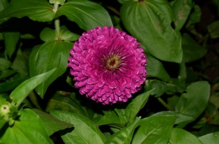 Giant Purple Zinnia