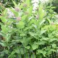 a002 common milkweed