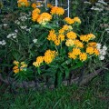 a003 asclepias tuberosa, butterfly weed